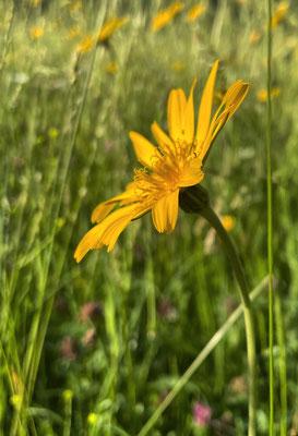 Wiesen-Bocksbart auf der Sommer-Blumenwiese Mailach