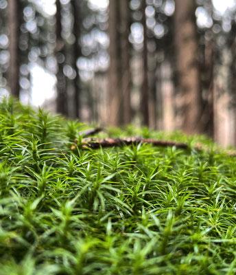 Moos im Bergwald