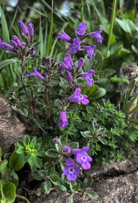 Sommerblumen an den Daffnerwald-Almen