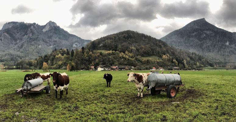 Links der Heuberg, in der Mitte Kühe, rechts das Kranzhorn