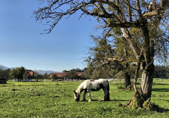 Pferdekoppel bei Pinswang