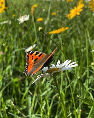 Schmetterling auf der Sommer-Blumenwiese Mailach