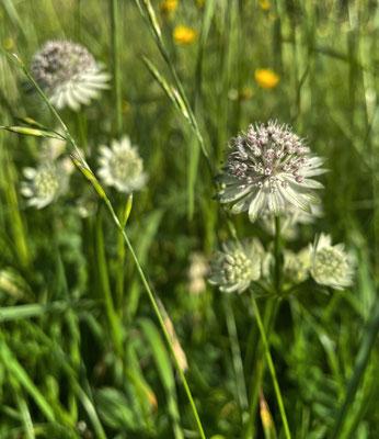 Große Sterndolde auf der Sommer-Blumenwiese Mailach