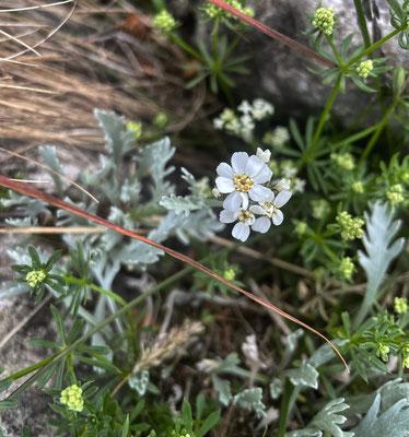 Sommerblumen auf dem Weg zum Kitzstein