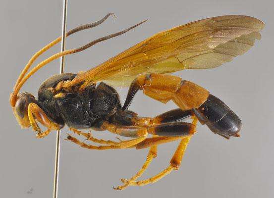 Callajoppa cirrogaster bilineata Cameron, 1903 ウチスズメヤドリヒメバチ [det. So SHIMIZU, 2016]