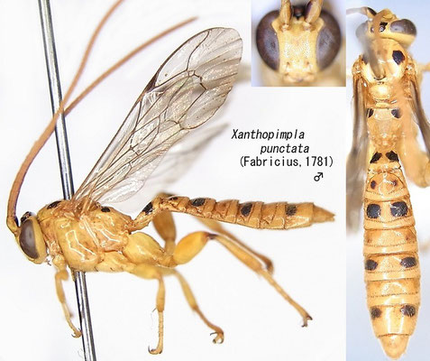 Xanthopimpla punctata (Fabricius, 1781) [det. Kyohei WATANABE]