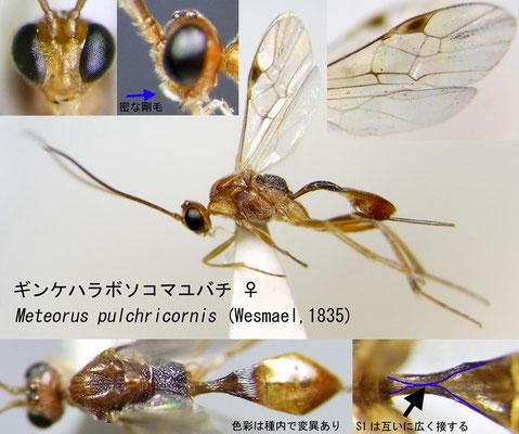 Meteorus pulchricornis (Wesmael, 1835) ギンケハラボソコマユバチ ♀ [det. Kyohei WATANABE]
