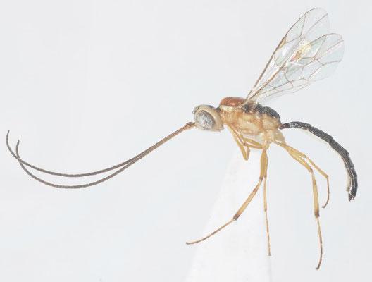 Oedemopsis angustus (Momoi, 1970) [det. Kyohei WATANABE]