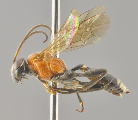 Neotypus taiwanus Uchida, 1929 [det. So SHIMIZU, 2016]