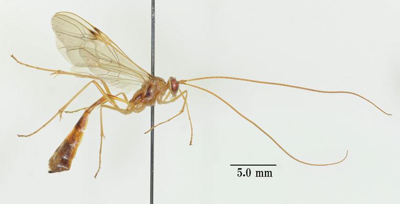 Leptophion parvus Shimizu & Watanabe, 2015 ヒメウスモンアメバチ Holotype