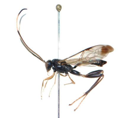 Spilopteron pyrrhonae Kusigemati,1981 ヘリウスケンヒメバチ ♂ [Det. Masato ITO]