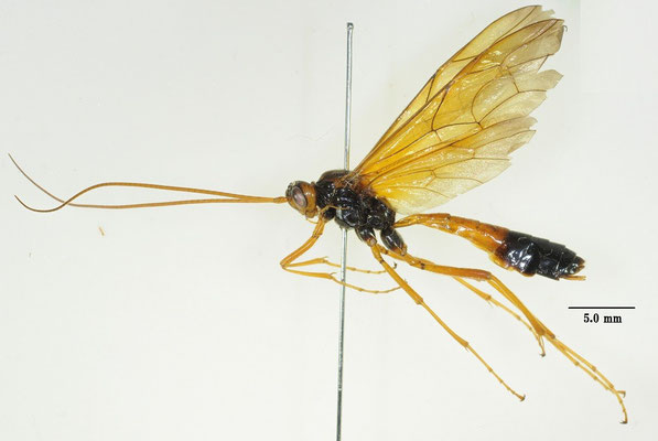 Opheltes glaucopterus apicalis (Matsumura, 1912) ベッコウアメバチモドキ [det. So SHIMIZU]