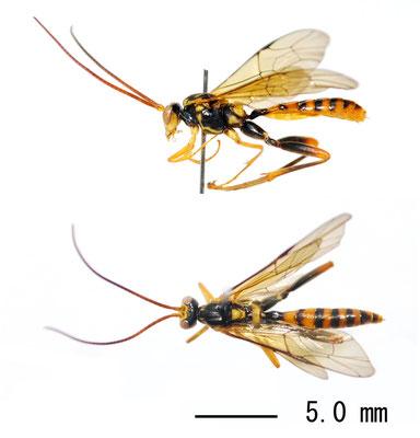 Yamatarotes chishimensis (Uchida, 1929) チシマケンヒメバチ ♂ [Det. Masato ITO]