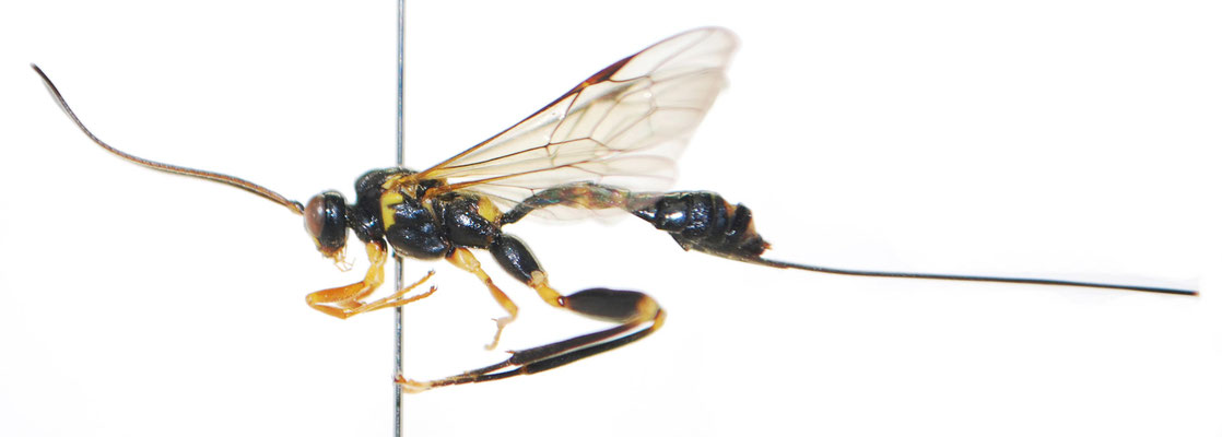Arotes moiwanus (Matsumura, 1912) モイワケンヒメバチ ♀ [Det. Masato ITO]