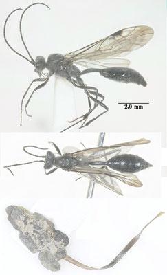 Agriotypus gracilis Waterston, 1930 ミズバチ [det. So SHIMIZU]