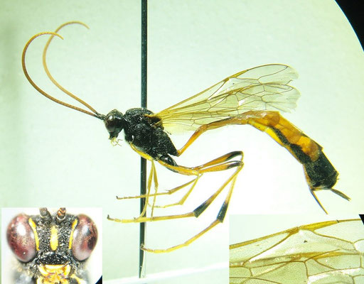 Therion circumflexum (Linnaeus, 1758) マツヤドリコンボウアメバチ [det. So SHIMIZU]