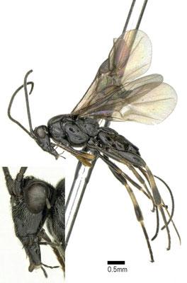 Agathis semiaciculata Ivanov, 1899 ♀ [det. Shunpei FUJIE]