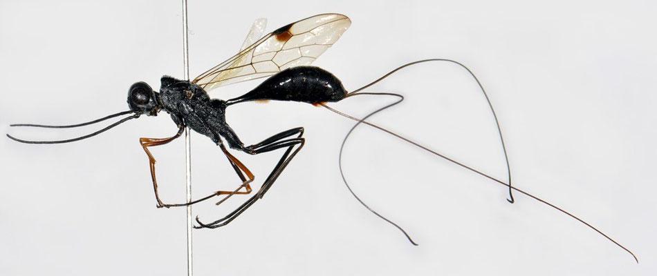 Pristaulacus anijimensis Watanabe, Konishi & Turrisi, 2013 アニジマセダカヤセバチ [holotype]