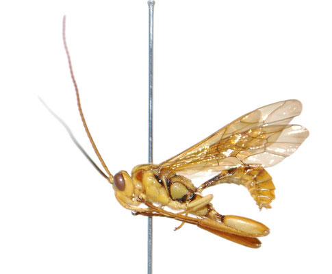 Ishigakia exetasea Uchida, 1928 イシガキケンヒメバチ ♂ [Det. Masato ITO]