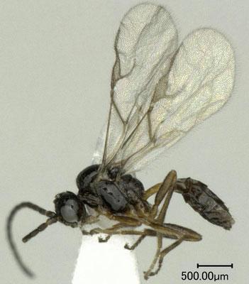 Diaeretiella rapae (McIntosh, 1855) ダイコンアブラバチ [det. Shunpei FUJIE]