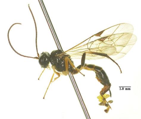 Polyblastus (Polyblastus) wahlbergi wahlbergi Holmgren, 1855 モンハバチヤドリヒメバチ ♀ [det. Kyohei WATANABE]