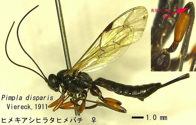 Pimpla disparis Viereck, 1911 ヒメキアシヒラタヒメバチ ♀ [det. Kyohei WATANABE]