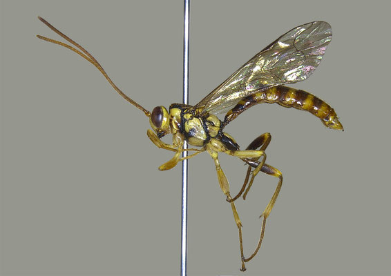 Epirhyssa nitobei Uchida, 1928 ニトベオナガバチ ♂ [det. Masato ITO]