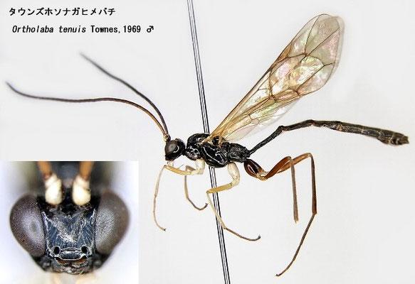 Ortholaba tenuis Townes,1969 タウンズホソナガヒメバチ male [det. Kyohei WATANABE]