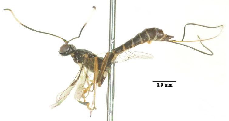 Cnastis assimilis (Uchida, 1928) ♀ [det. Kyohei WATANABE]