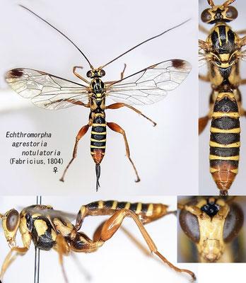 Echthromorpha agrestoria notulatoria (Fabricius, 1804) [det.Kyohei WATANABE]