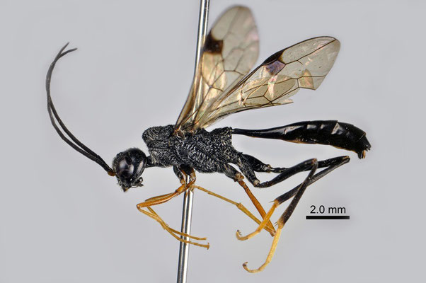 Pristaulacus boninensis Konishi, 1989 オガサワラセダカヤセバチ ♂ [det. Kyohei WATANABE]