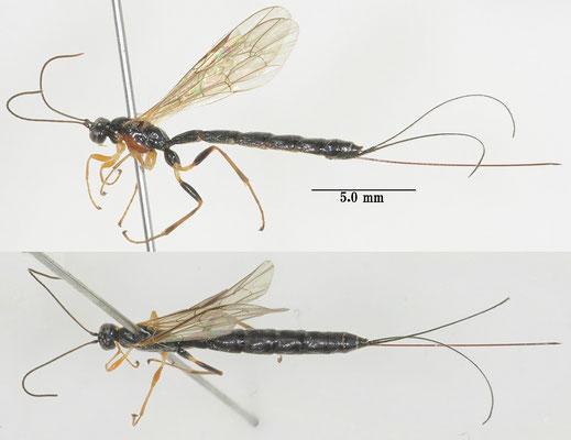 Pimplaetus crassigenus (Uchida, 1928) ホソハラフシヒメバチ ♀ [det. So SHIMIZU]