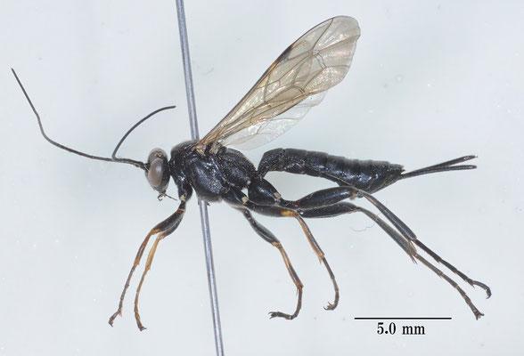 Pimpla luctuosa Smith, 1874 マイマイヒラタヒメバチ female [det. So SHIMIZU]