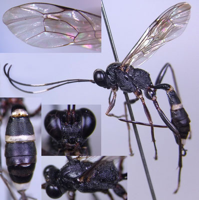 Goryphus albofasciatus (Matsumura & Uchida, 1926) ♀ [det. Kyohei WATANABE]