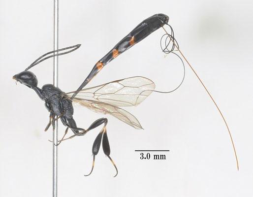 Gasteruption japonicus Cameron, 1888 オオコンボウヤセバチ(コンボウヤセバチ) [det. So SHIMIZU]