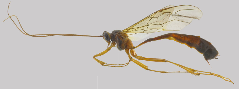 Enicospilus shikokuensis (Uchida, 1928) シコクホシアメバチ [det. So Shimizu, 2016]