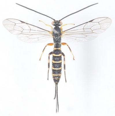 Sericopimpla ryukyuensis Momoi, 1970 ♀ [det. Kyohei WATANABE]