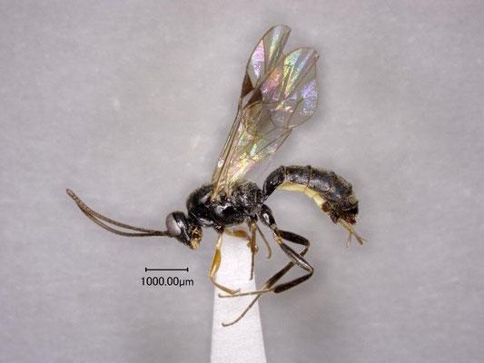 Stilbops ezoensis Watanabe & Maeto, 2012  エゾチビマルヒメバチ ♀ [holotype]