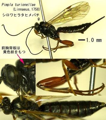 Pimpla turionellae (Linnaeus, 1758) シロワヒラタヒメバチ ♀ [det. Kyohei WATANABE]