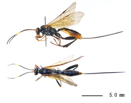 Yamatarotes chishimensis (Uchida, 1929) チシマケンヒメバチ ♀ [Det. Masato ITO]