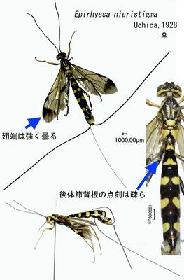 Epirhyssa nigristigma Uchida, 1928 ツマグロオナガバチ ♀ [det. Kyohei WATANABE]