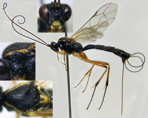 Apophua bipunctoria (Thunberg, 1822) ♀ [det. Kyohei WATANABE]