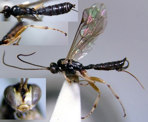 Alophosternum nigricoxis Zwakhals, 1987 ♀  [det. Kyohei WATANABE]