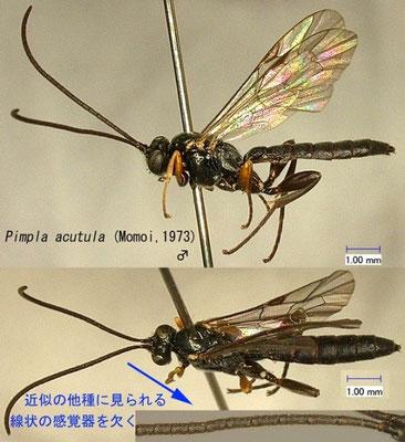 Pimpla acutula (Momoi, 1973) コクロヒラタヒメバチ ♂ [det. Kyohei WATANABE]