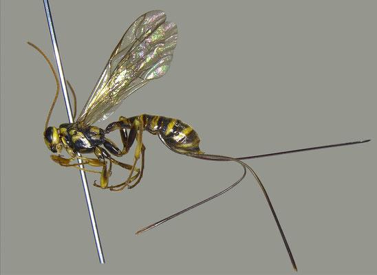 Epirhyssa nitobei Uchida, 1928 ニトベオナガバチ ♀ [det. Masato ITO]