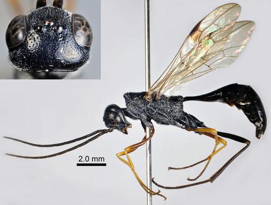 Pristaulacus anijimensis Watanabe, Konishi & Turrisi, 2013 アニジマセダカヤセバチ [paratype ♂]