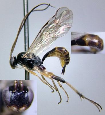 Astiphromma splenium (Curtis, 1833) キョウトフタオヒメバチ ♀ [det. Kyohei WATANABE]