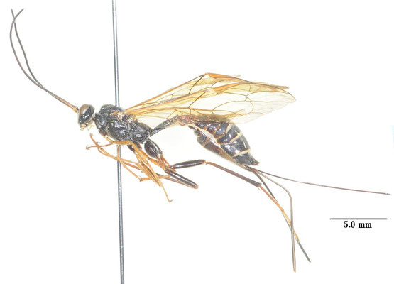Coleocentrus incertus (Ashmead, 1906) コンボウケンヒメバチ ♀ [Det. So SHIMIZU]