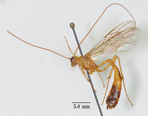 Dicamptus nigropictus (Matsumura, 1912) クロモンアメバチ [det. So SHIMIZU]