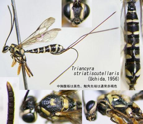 Triancyra striatiscutellaris (Uchida, 1956) [det. Kyohei WATANABE]
